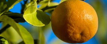 Healthy, Pest-Free Oranges are Possible without POISONS!!!